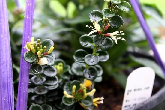 ロニセラ寄せ植え_3502 (1)