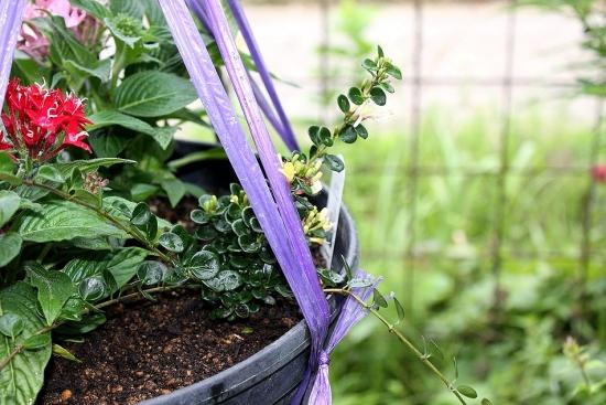 ロニセラ寄せ植え_3502 (4)