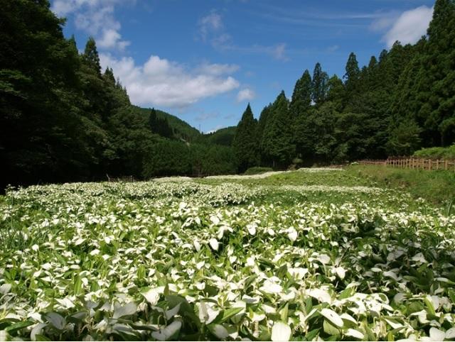 2017-7-2奈良県御杖村の半夏生