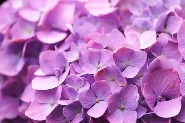 紫陽花 アップ ピンク