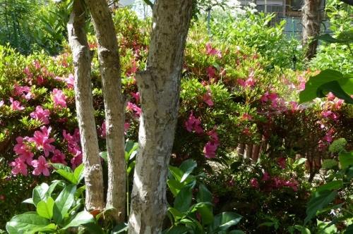 セッコクが着生しているギンモクセイの木