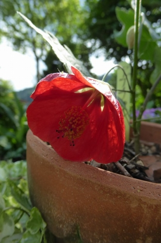 アブチロン姫リンゴ