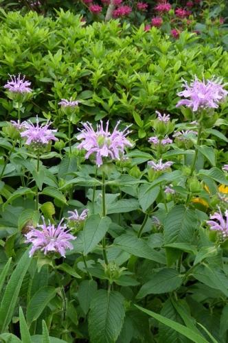 モナルダ 薄紫色
