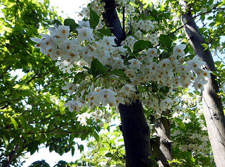 あしび入口エゴノキの花
