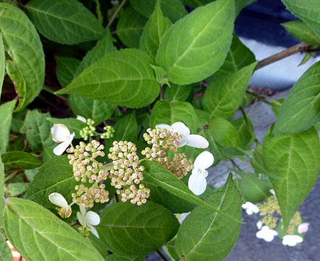 大和屋さんの入口紫陽花