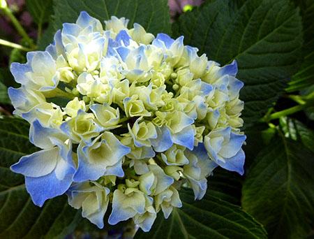 我が家に紫陽花
