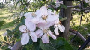 apple_flower_convert_20170514220927.jpg
