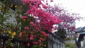 ツツジと桜とヤマブキ