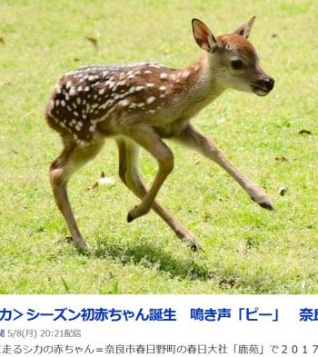 news<シカ>シーズン初赤ちゃん誕生 鳴き声「ピー」 奈良公園