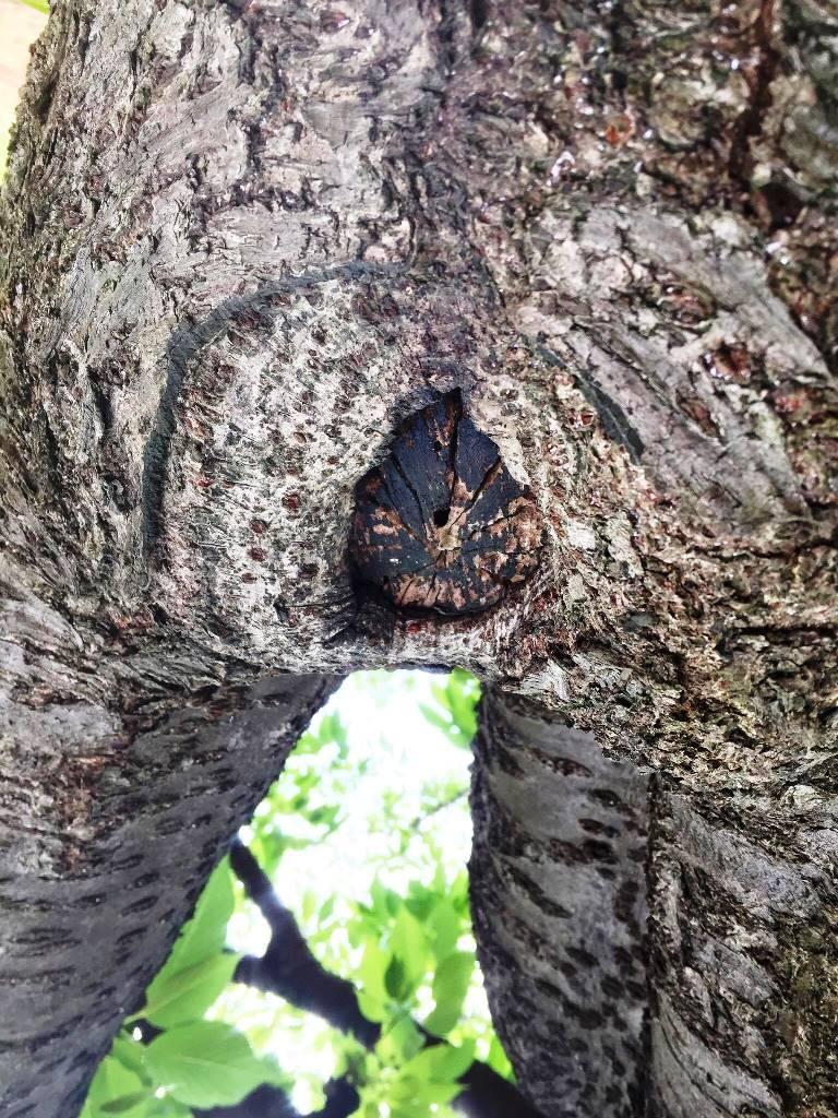 木の処女膜割れ目