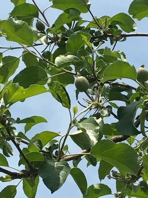 29.5.20 りんごの実