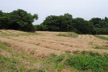 生姜敷き藁