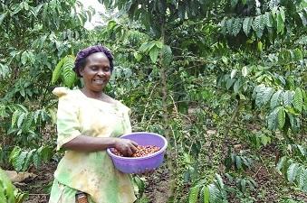 珈琲農家さんが珈琲豆を手摘みしている様子