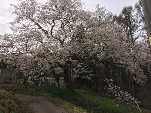 4_27シニア大6班でいた立屋の桜とおやきの里 (8) (520x390)
