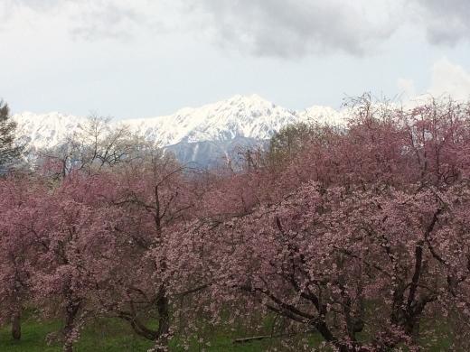 4_27シニア大6班でいた立屋の桜とおやきの里 (12) (520x390)
