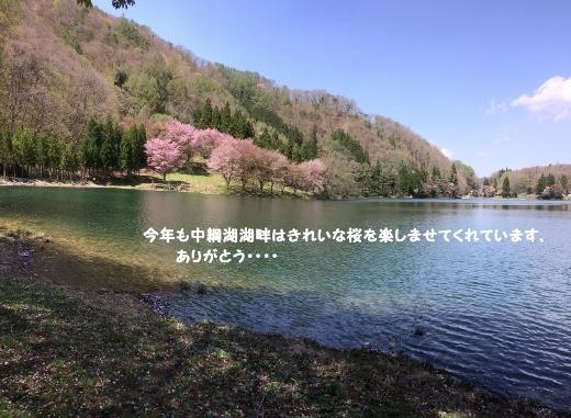 5_7大町中綱湖の桜 (4) (520x381)