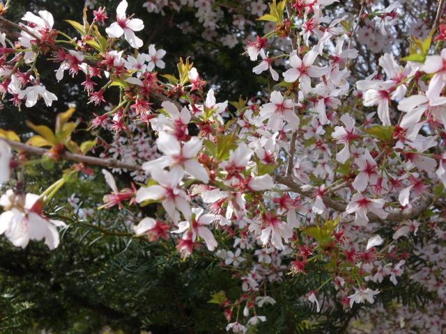 b_026桜アップ