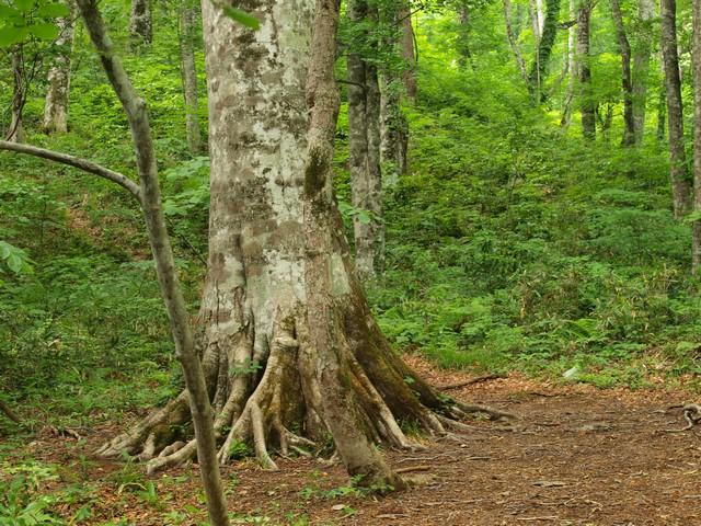 s05ブナの巨木1