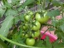 CIMG2078トマト