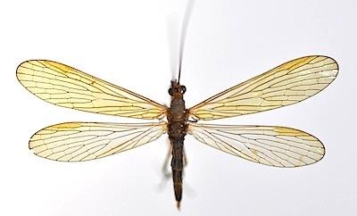 スカシシリアゲモドキのオス型メス