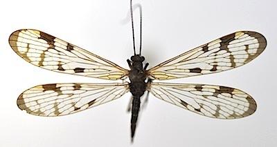スカシシリアゲモドキのメス型メス