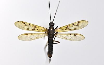 スカシシリアゲモドキのメスの短翅型