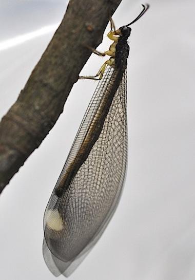 ウスバカゲロウの1種