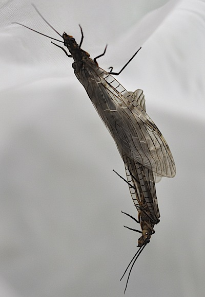 タイリククロスジヘビトンボの交尾