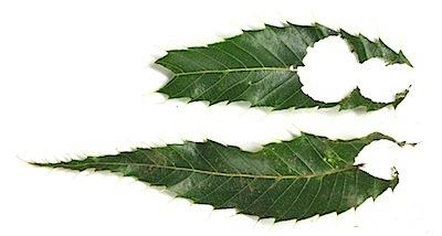 クヌギの葉に残るムササビの食痕