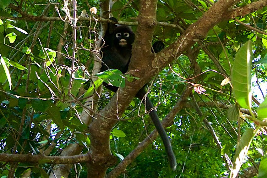 サムイ島旅行記 3日目 アントン海洋国立公園 猿2