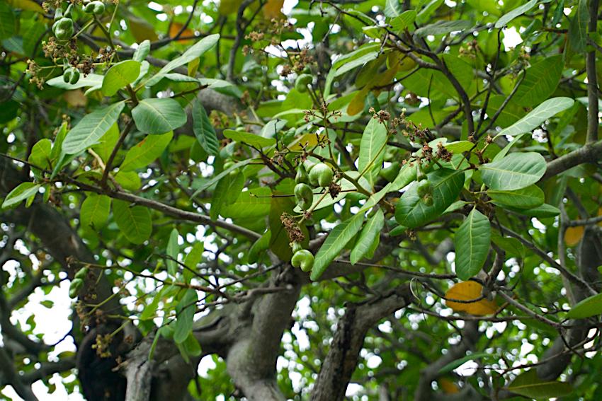 サムイ島旅行記 1日目 カシューナッツの木