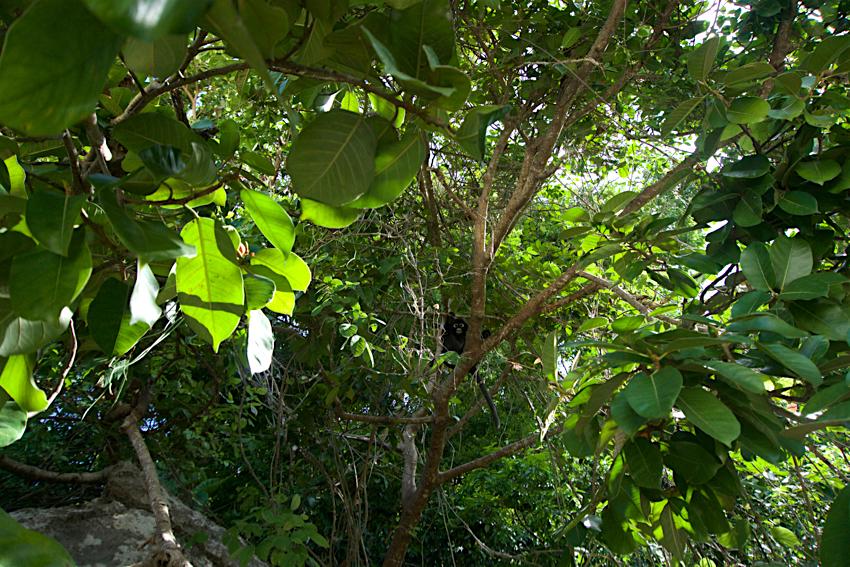サムイ島旅行記 3日目 アントン海洋国立公園 猿1