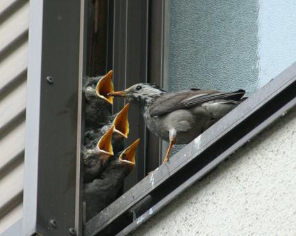 ムクドリ巣作り