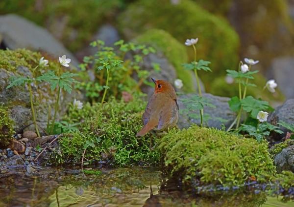 コマドリ花3 DSC_0095