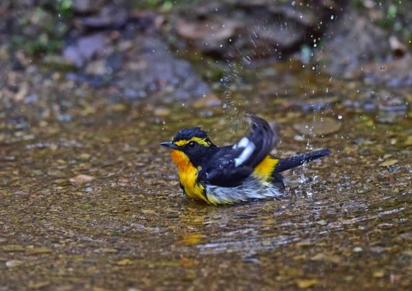 キビタキ3水浴び DSC_0283