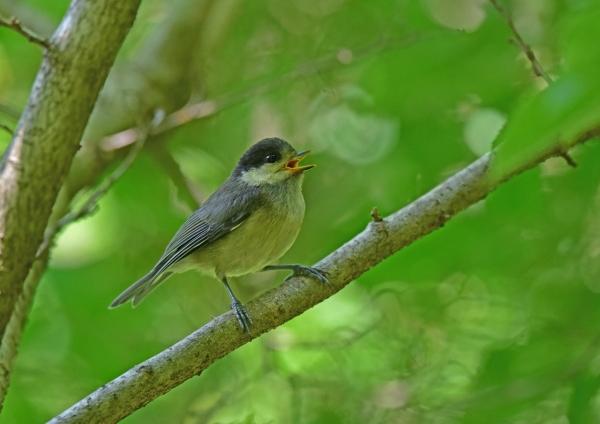 ヤマガラ1幼鳥 DSC_0136