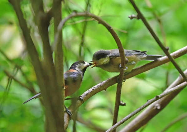 ヤマガラ3幼鳥 DSC_0020