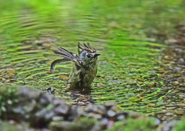 キクイタダキ水浴び4 DSC_031
