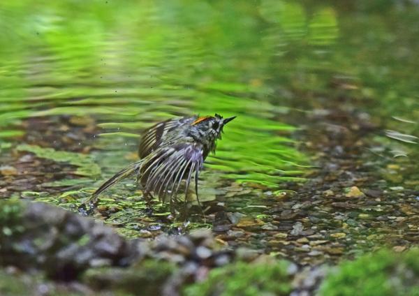 キクイタダキ水浴び5DSC_038