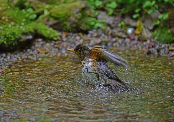 クロツグミ雌水浴び1 DSC_010