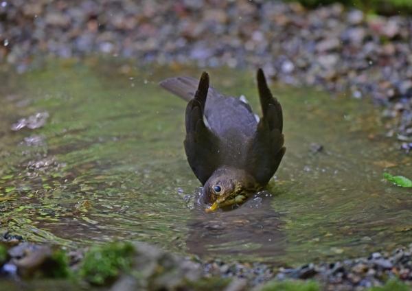 クロツグミ雌水浴び2 DSC_01