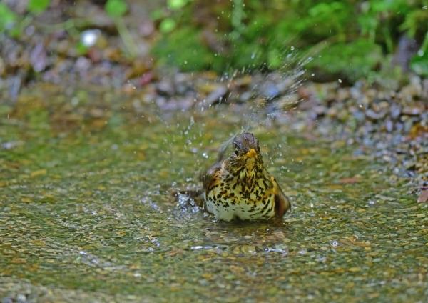クロツグミ雌水浴び3 DSC_022