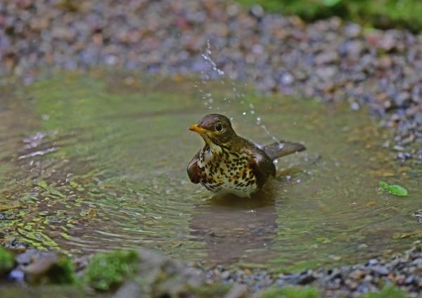 クロツグミ雌水浴び4 DSC_014