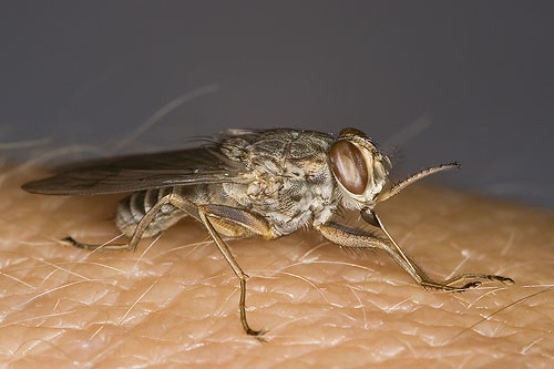 male_tsetse_fly_js8q9301.jpg