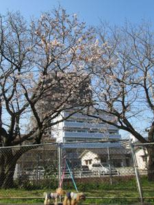 バス公園の桜と1