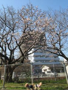 バス公園の桜と2