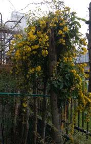 417 藤の花 3