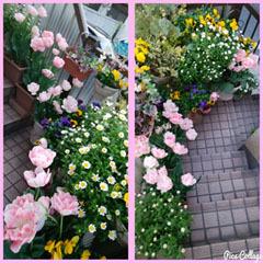 429 階段のお花 コラ