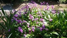 515 紫蘭の季節