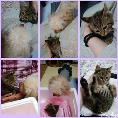 521 子猫とわんこ初対面b コラ